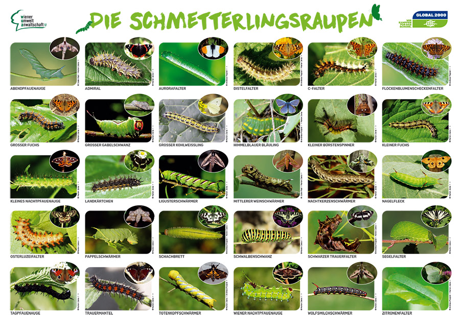 Schmetterlingsraupen Plakat