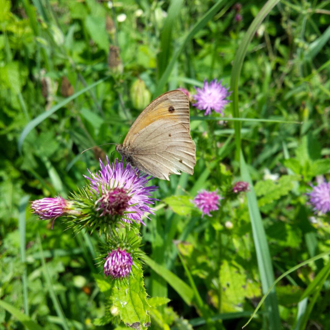 Großes Ochsenauge Schmetterling auf Blume