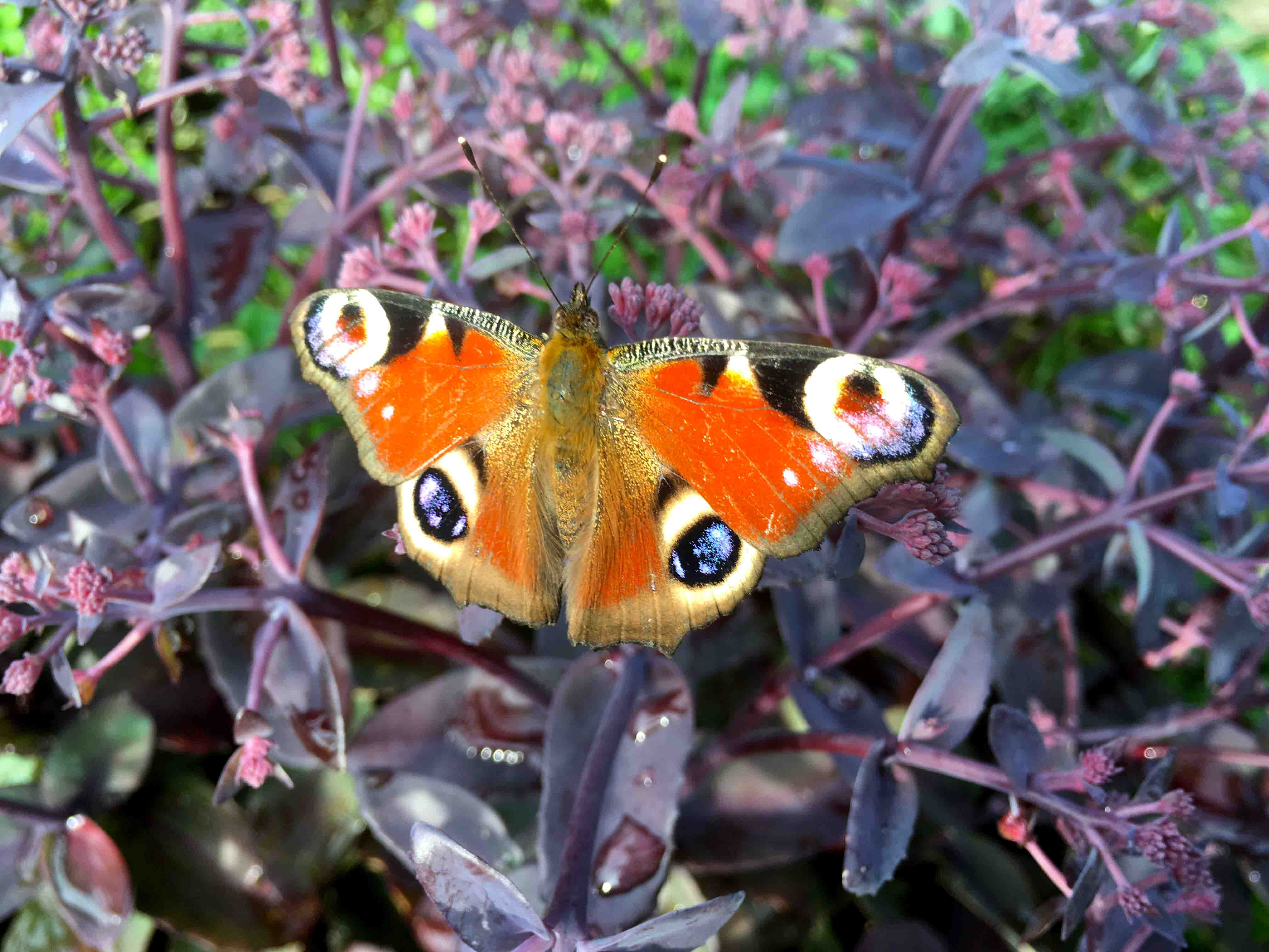 Tagpfauenauge Schmetterling auf Blume