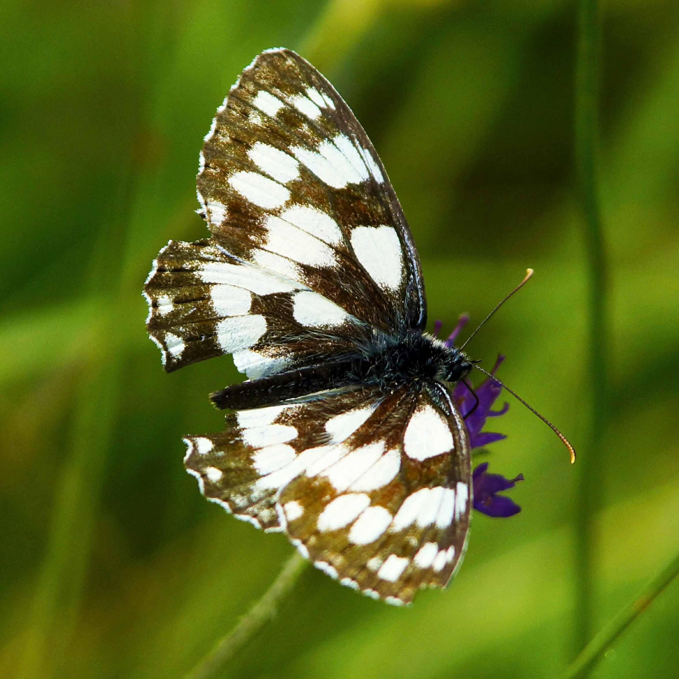 Schachbrett Schmetterling auf Blume