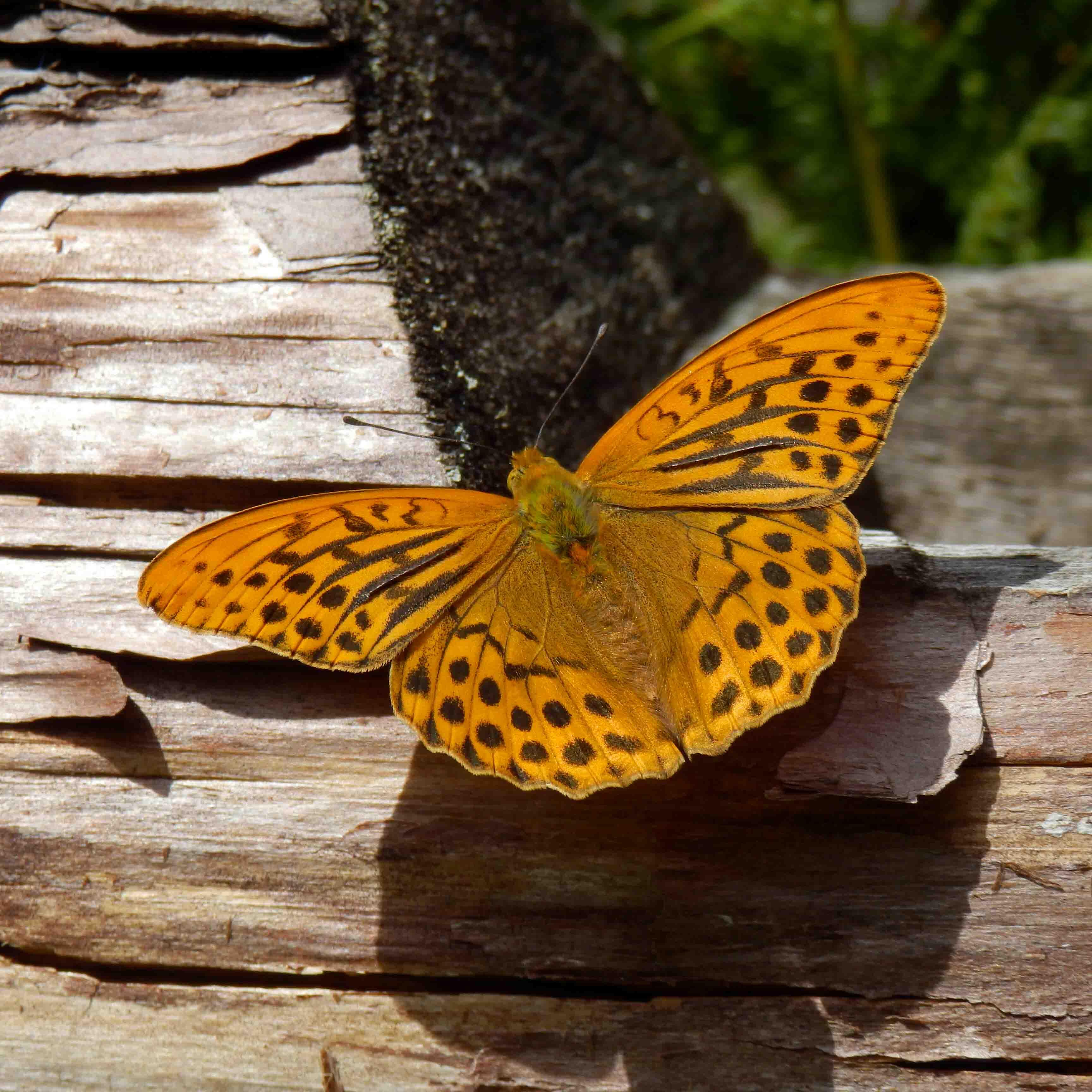 Kaisermantel Schmetterling auf Blume