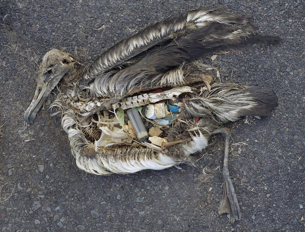 Vogel mit Plastik im Bauch