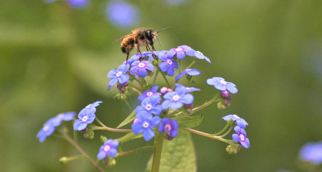 Biene auf Vergissmeinnicht