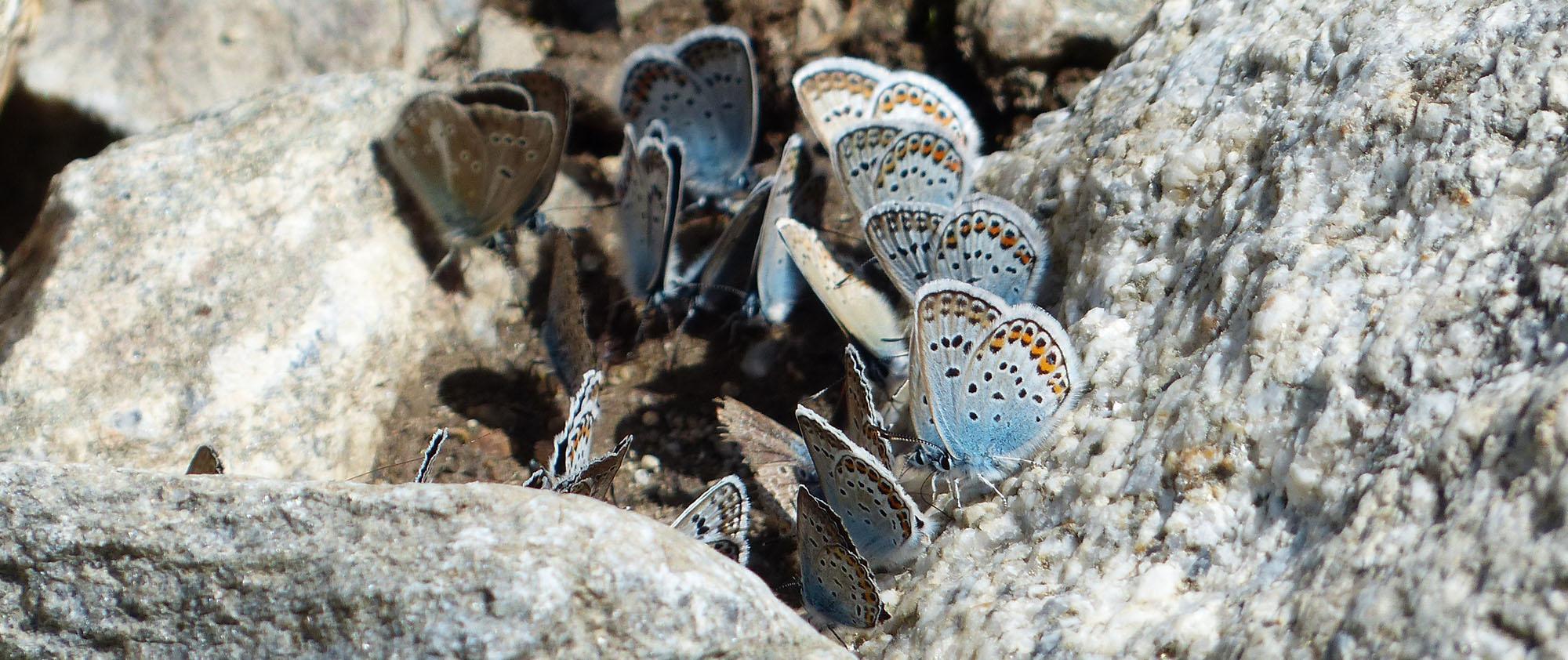 Bläuling Schmetterlinge