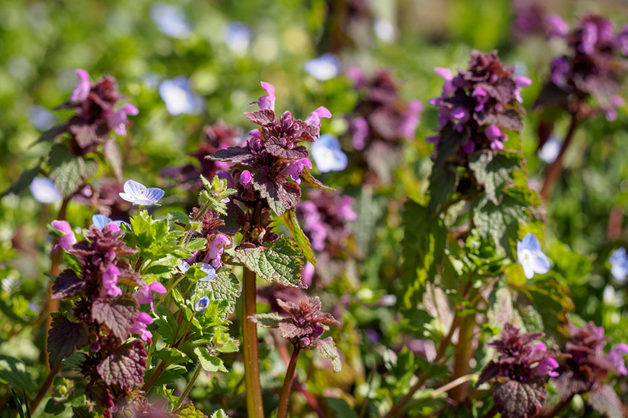 Blühender Rasen mit Taubnessel und Ehrenpreis