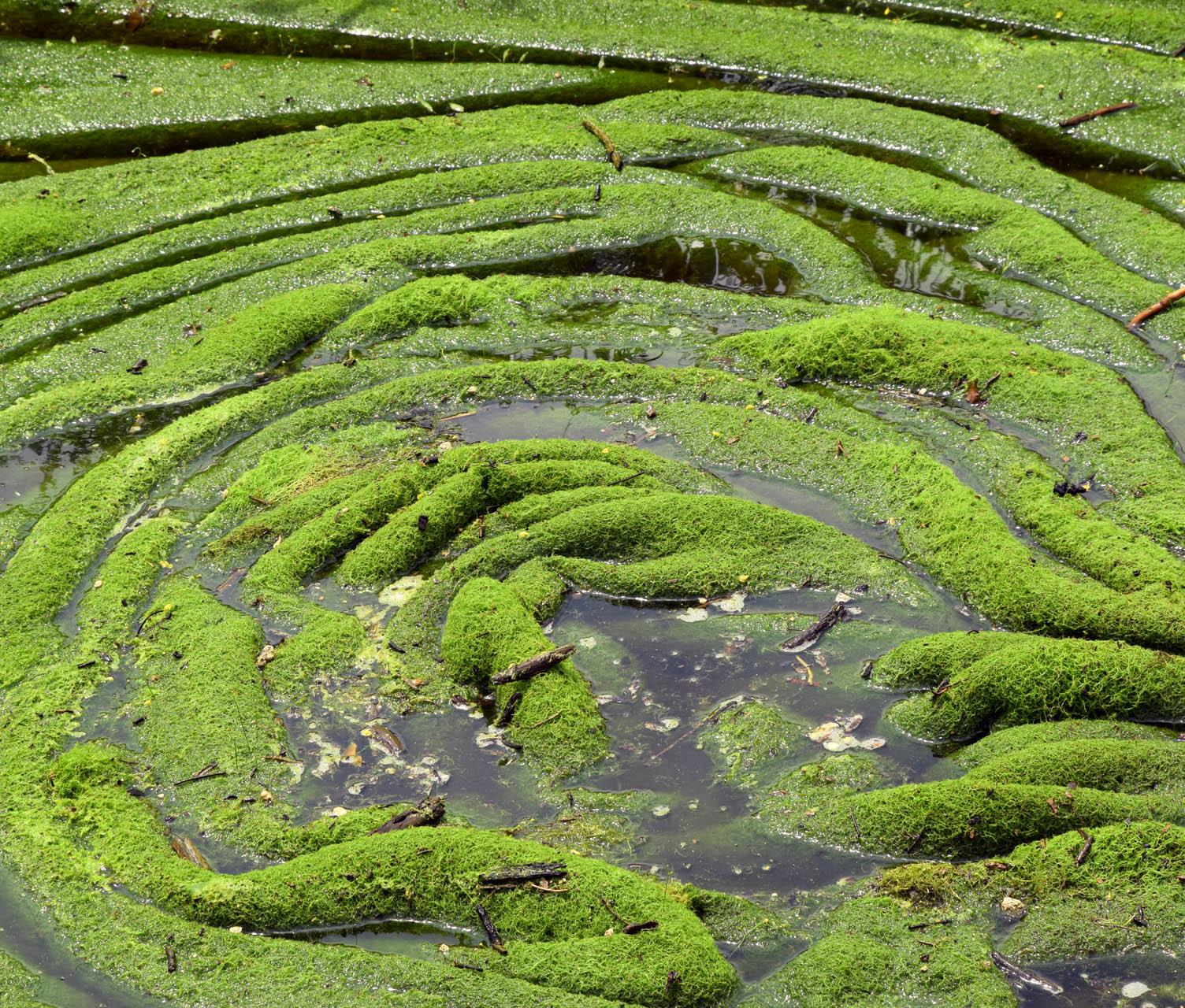 Algenteppich auf Fluss in Pungkat