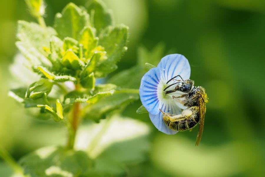 Wildbiene auf Ehrenpreis