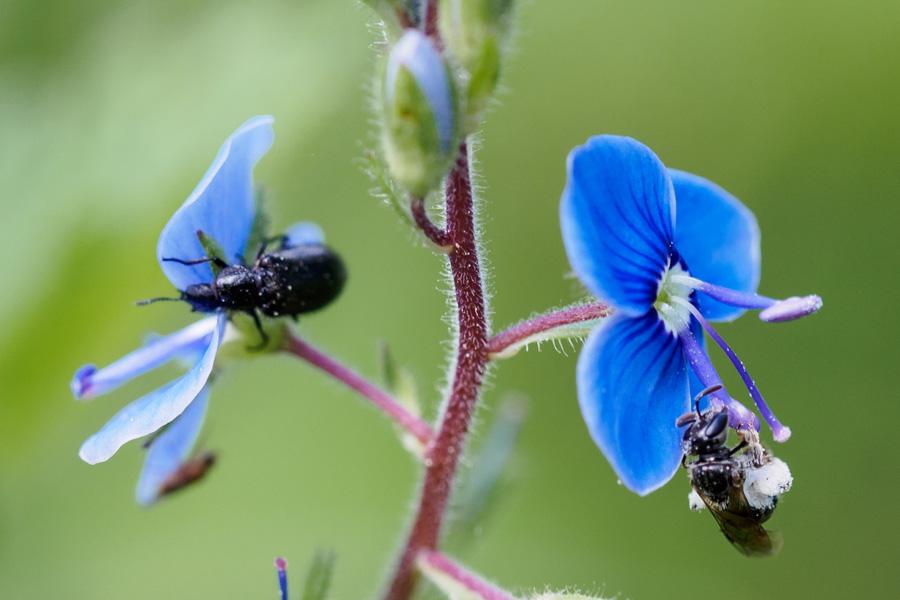 Wildbiene und Käfer auf Ehrenpreis