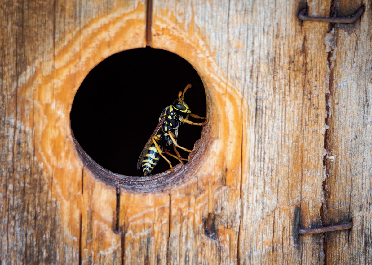 Feldwespe in Einflugsloch der Hummelkiste