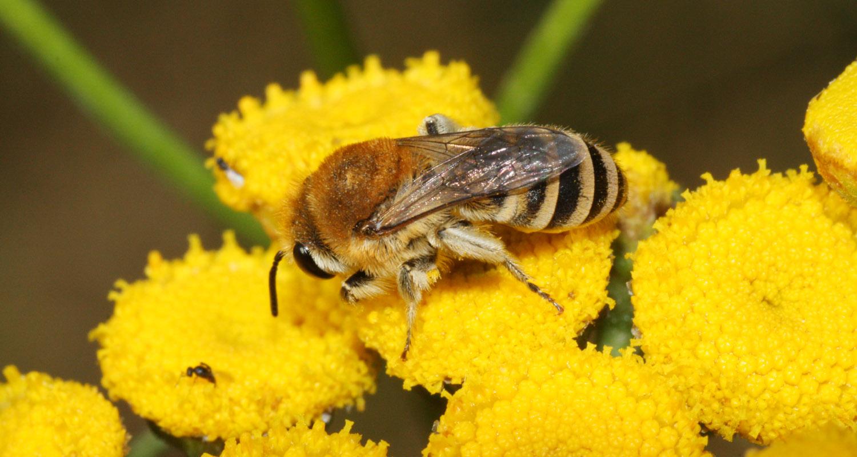 Filzbindige Seidenbiene - Colletes similis (c) Heinz Wiesbauer