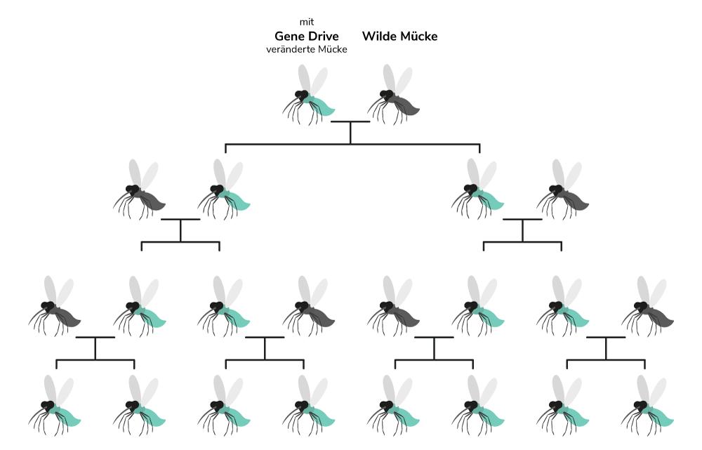 Gene Drive dargestellt anhand der Malariamücke