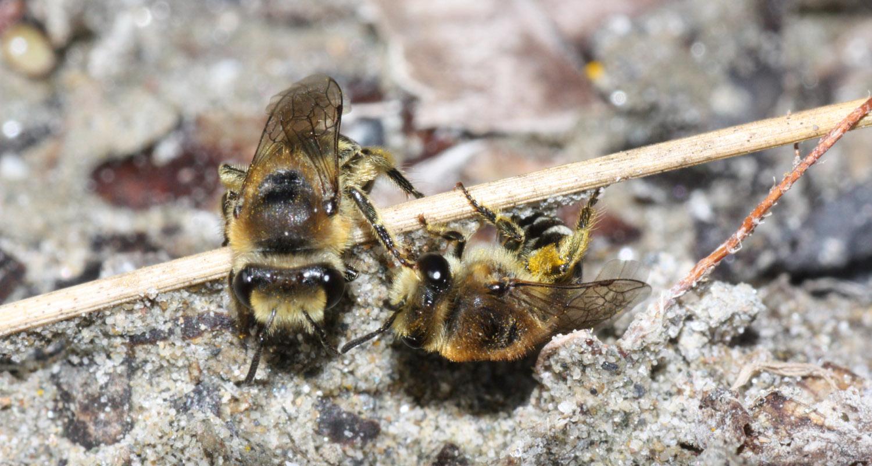 Gewöhnliche Seidenbiene - Colletes daviesanus (c) Heinz Wiesbauer