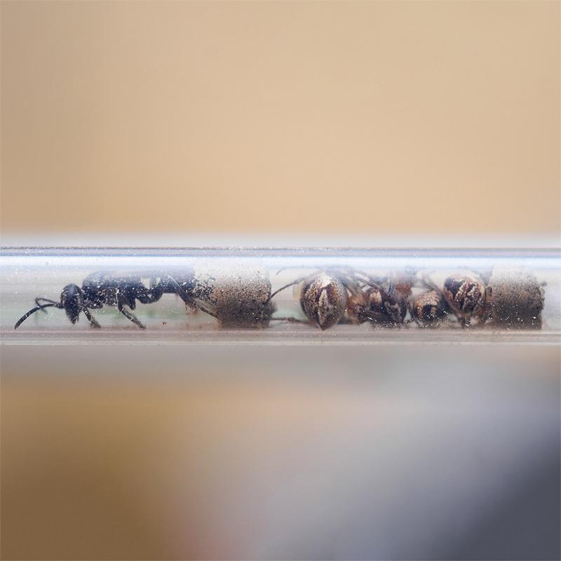 Grabwespe mit Spinnenproviant