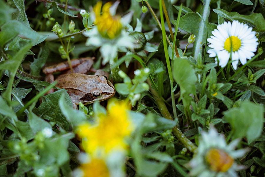 Grasfrosch im blühenden Rasen