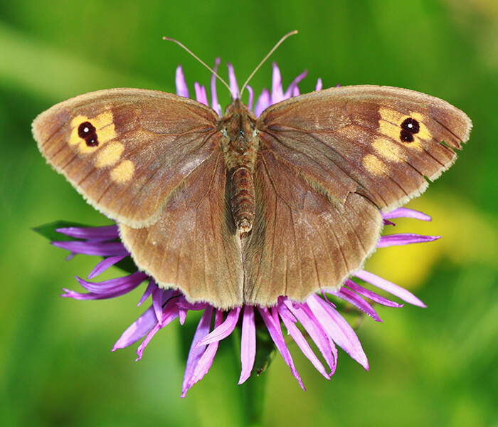 Großes Ochsenauge Schmetterling CC0 pixabay.com