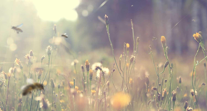 Summende Bienen auf einer Blumenwiese