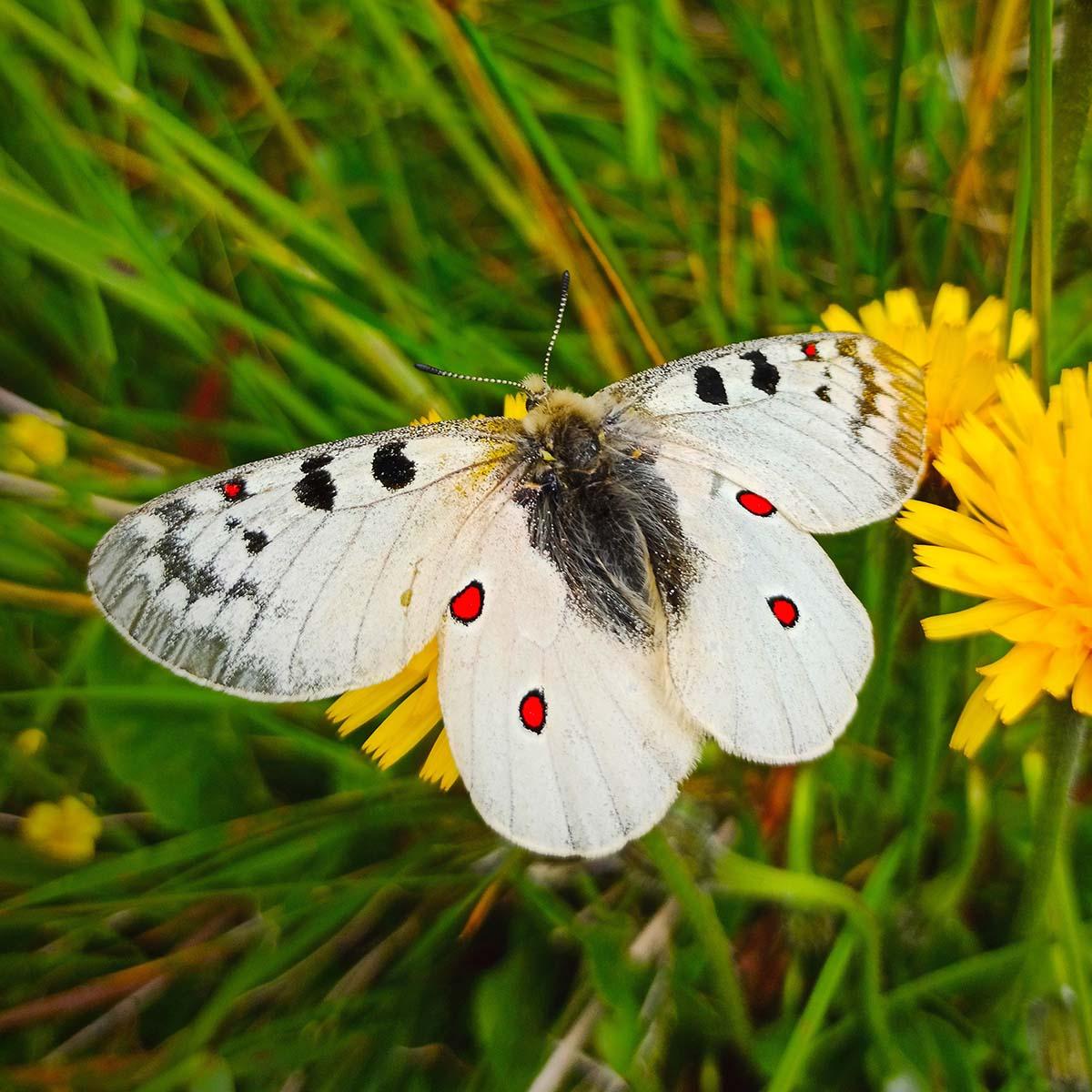 Hochalpen-Apollofalter aus der Schmetterlinge Österreichs App