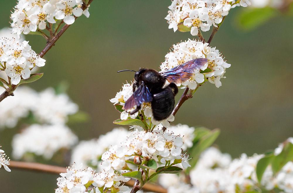 Holzbiene auf Cotoneaster (Zwergmispel)