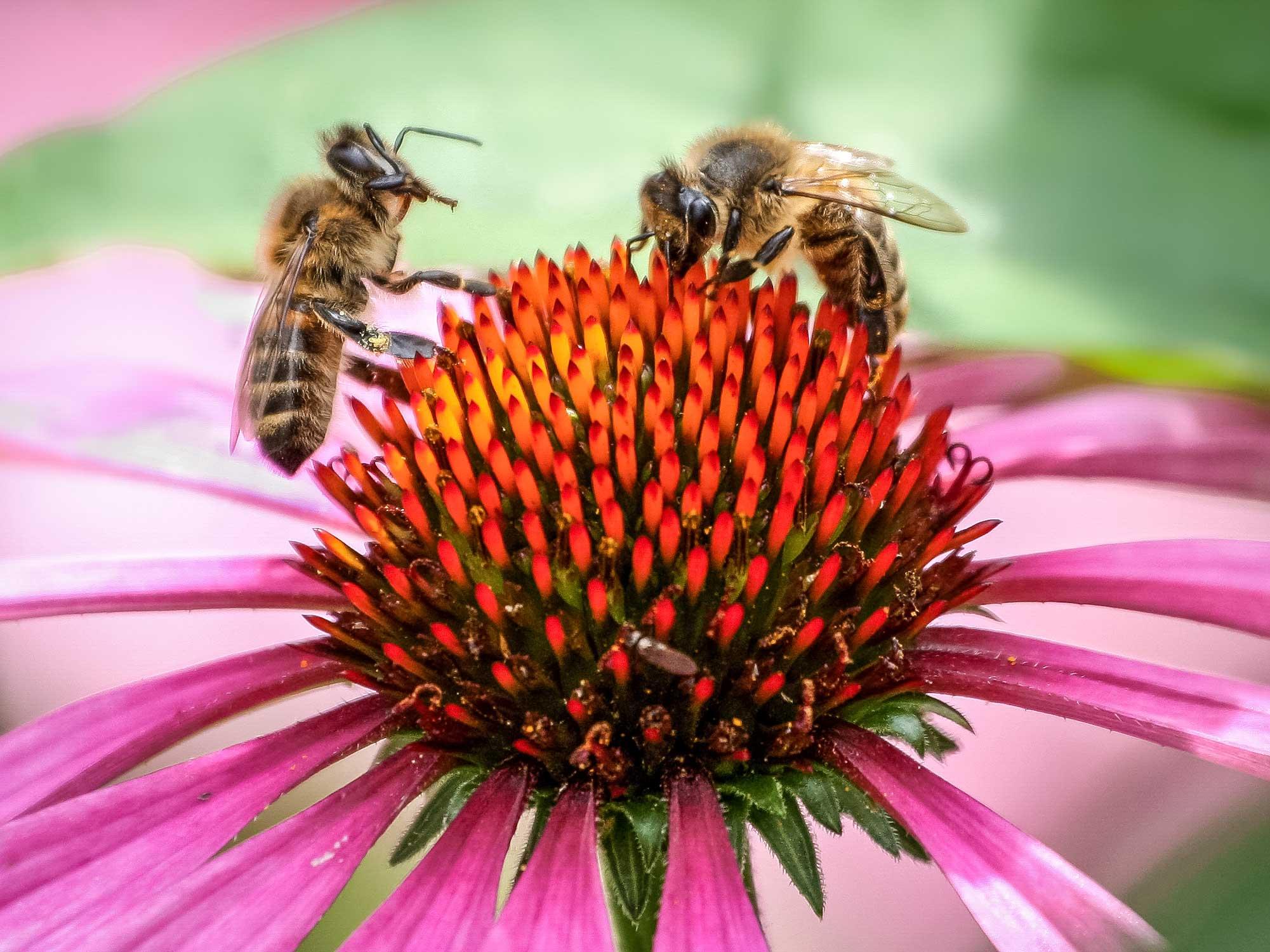 Honigbienen auf Sonnenhut