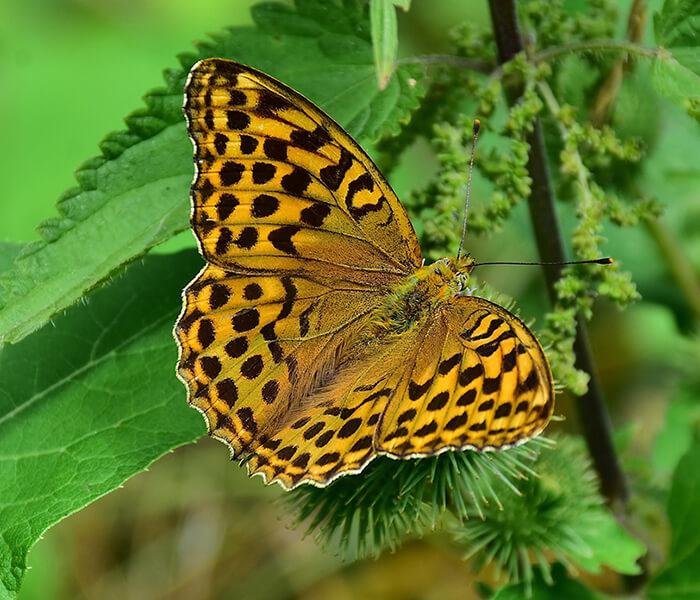 Kaisermantel Schmetterling CC0 pixabay.com