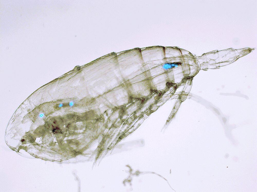 Microplastics eaten by Zooplankton (c) Matthew Cole / Plymouth Marine Laboratory