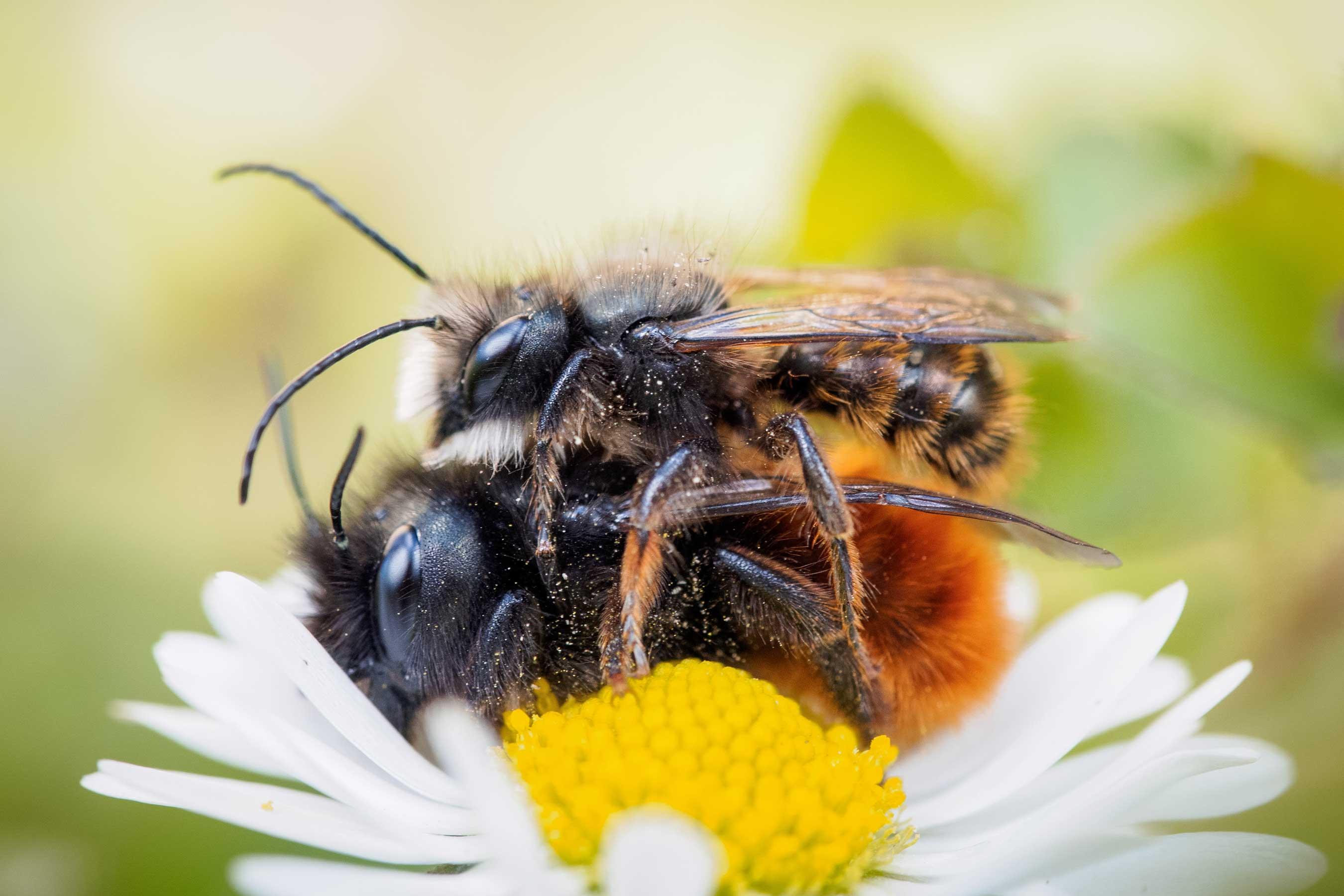 Ein Paar gehörnte Mauerbienen