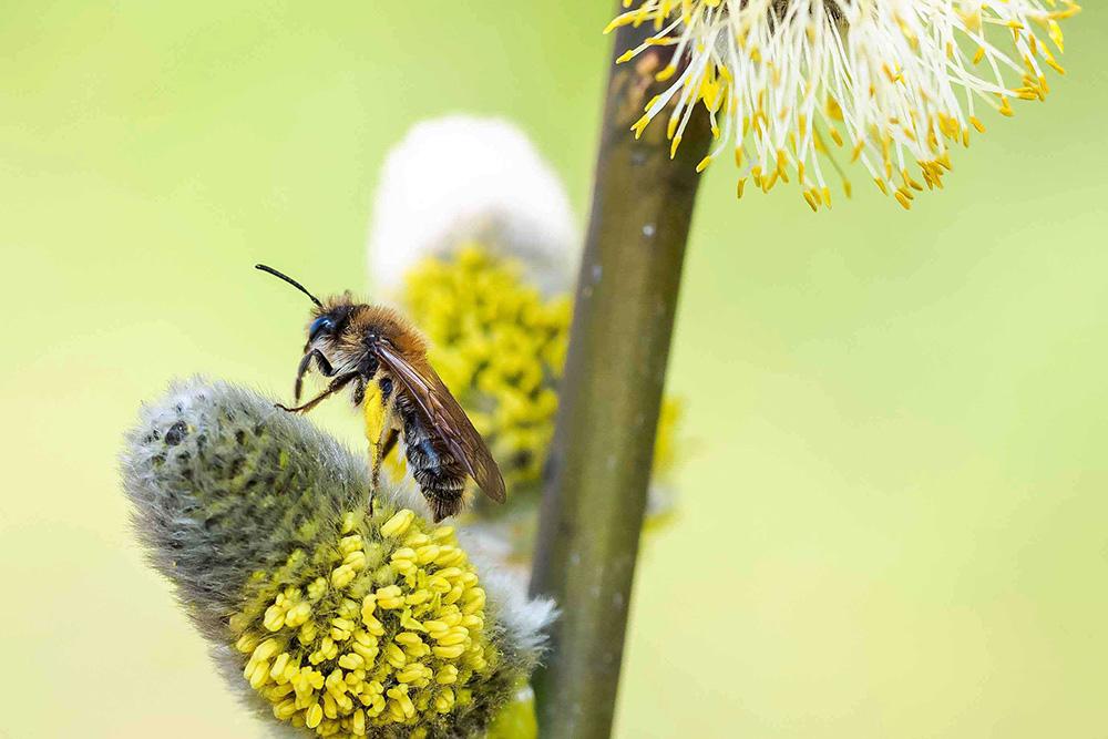 Wildbiene auf Palmkätzchen