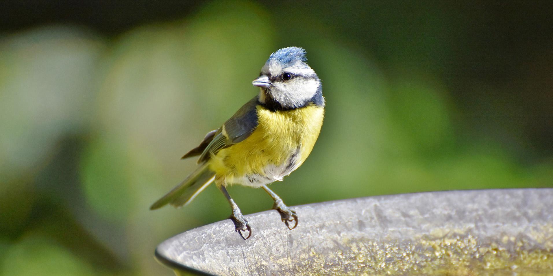 Blaumeise beim Vogelbad