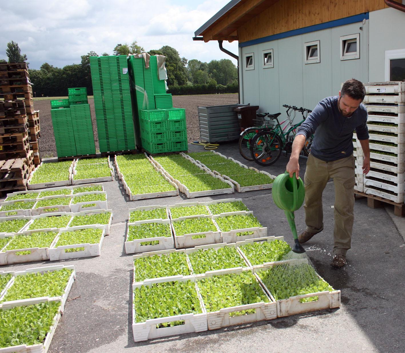 Angießen von jungen Salatpflanzen mit Bodenhilfsstoffen