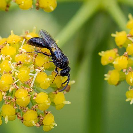 Schwarze Wespe