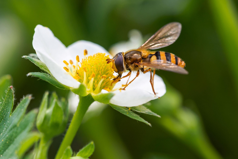 Schwebfliege auf Blüte