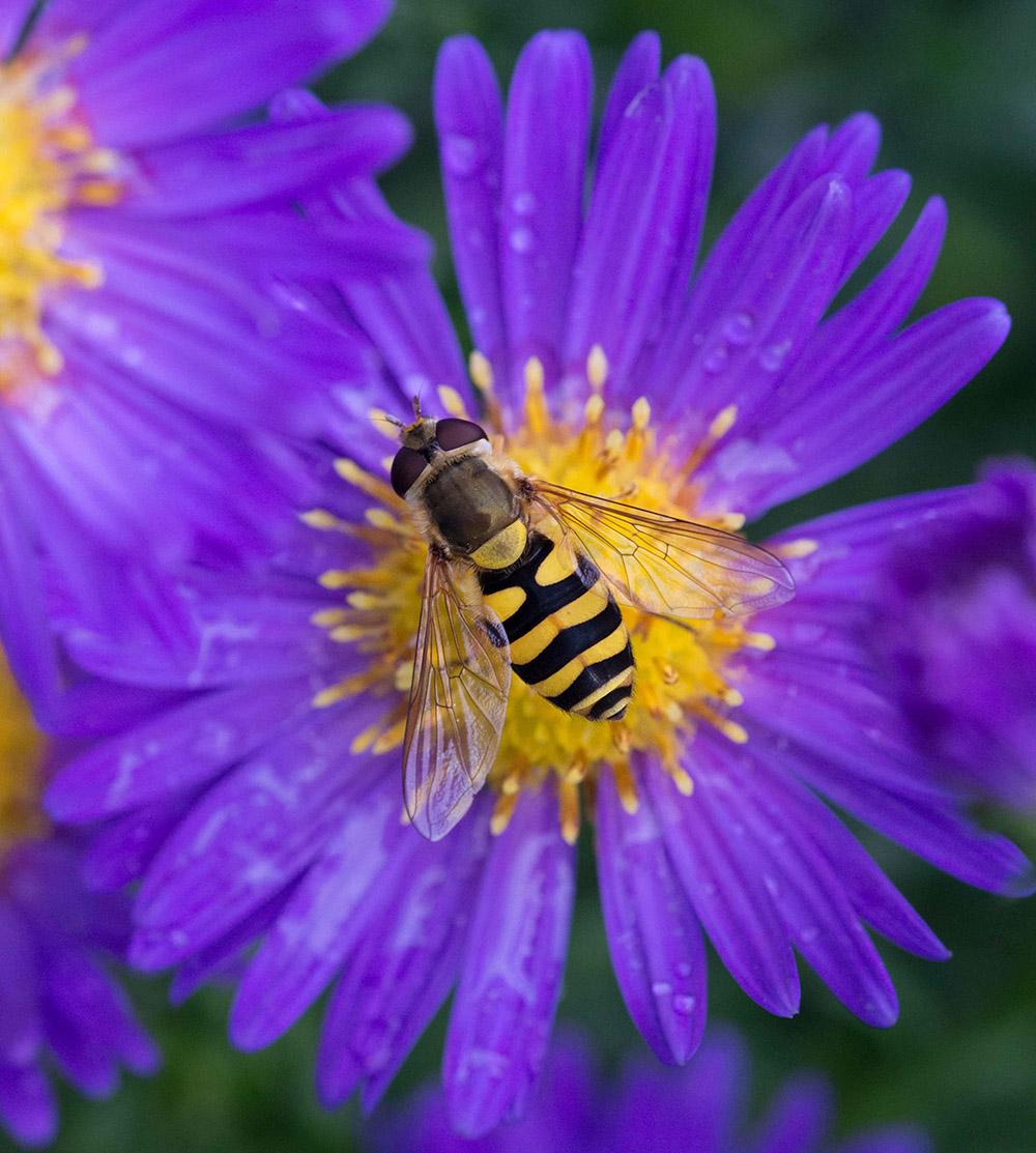 Schwebfliege und Blume