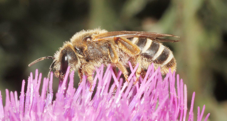 Sechsbindige Furchenbiene - Halictus sexcinctus (c) Heinz Wiesbauer