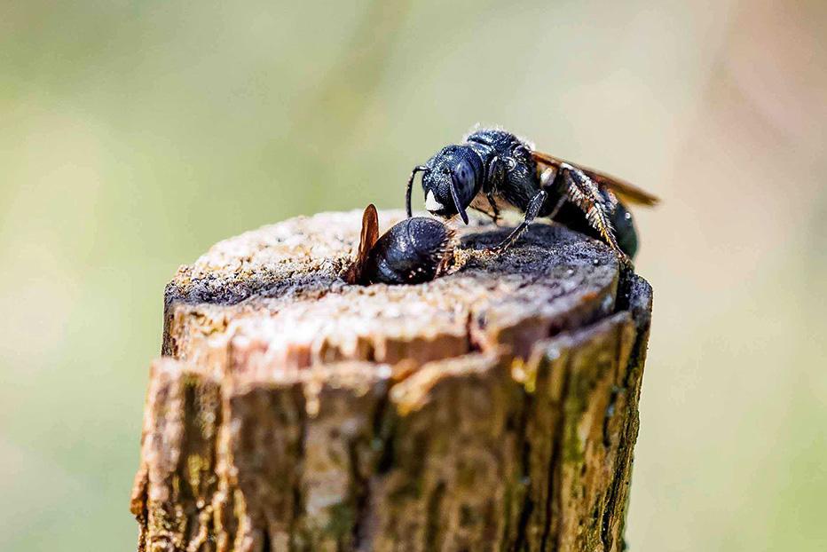 Wildbiene auf Holunderstängel
