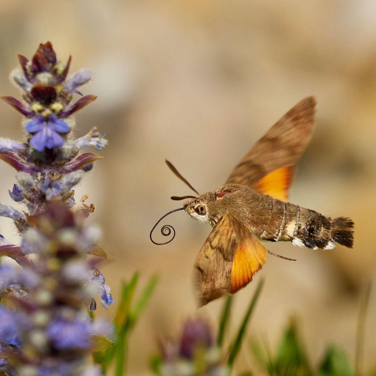 Taubenschwänzchen Schmetterling aus der Schmetterlinge Österreichs App