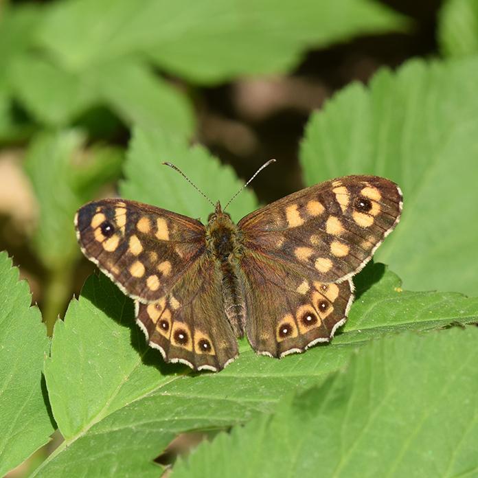Waldbrettspiel Schmetterling