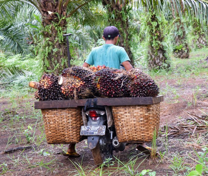 Geerntete Palmölfrüchte werden eingesammelt