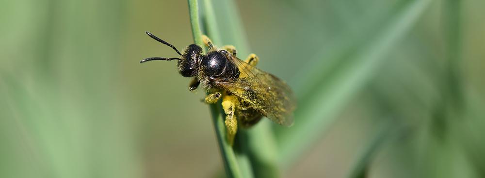 Wildbiene auf Grashalm