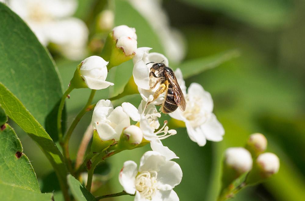 Wildbiene auf Cotoneaster