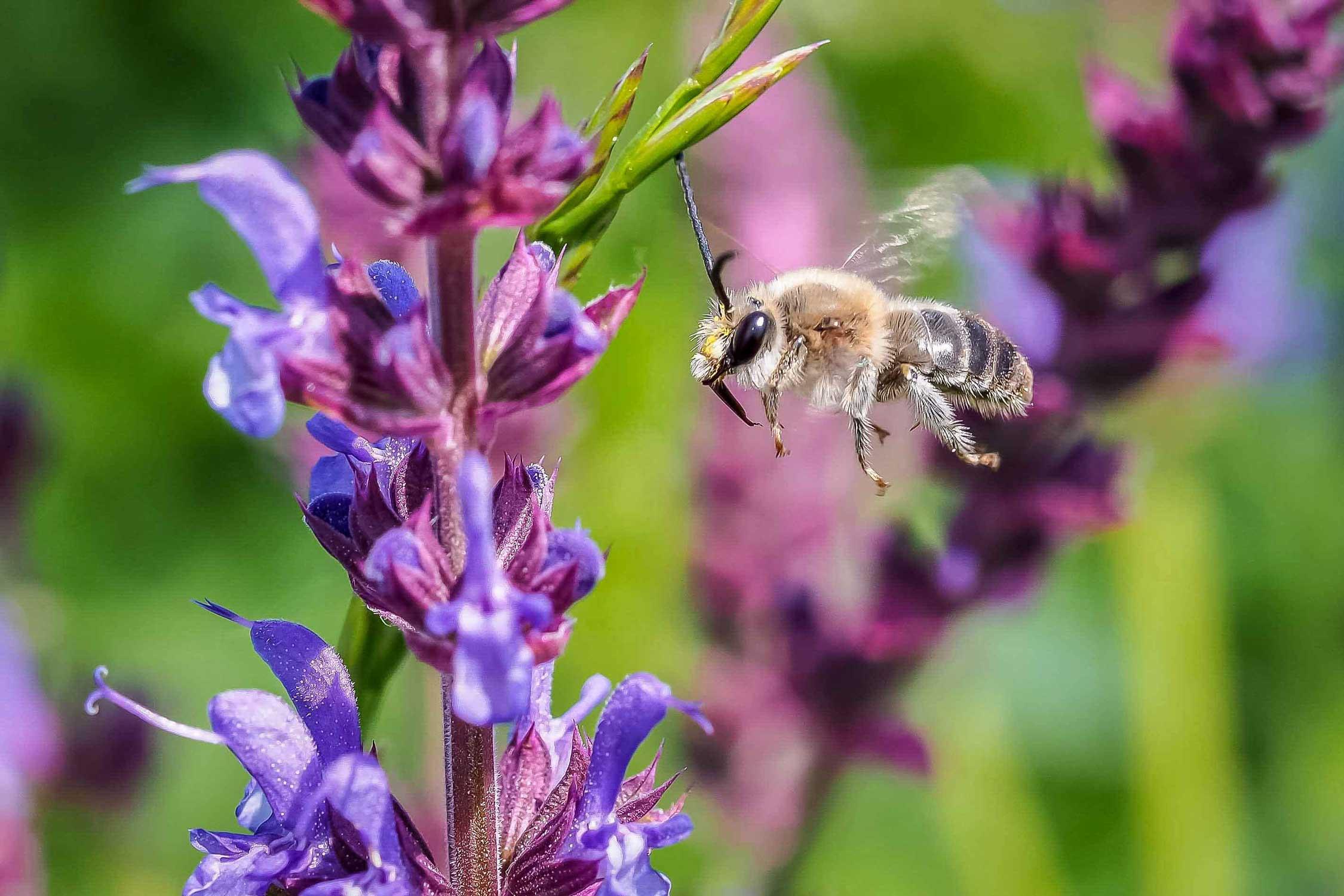 Wildbienen fliegt auf Salbei zu