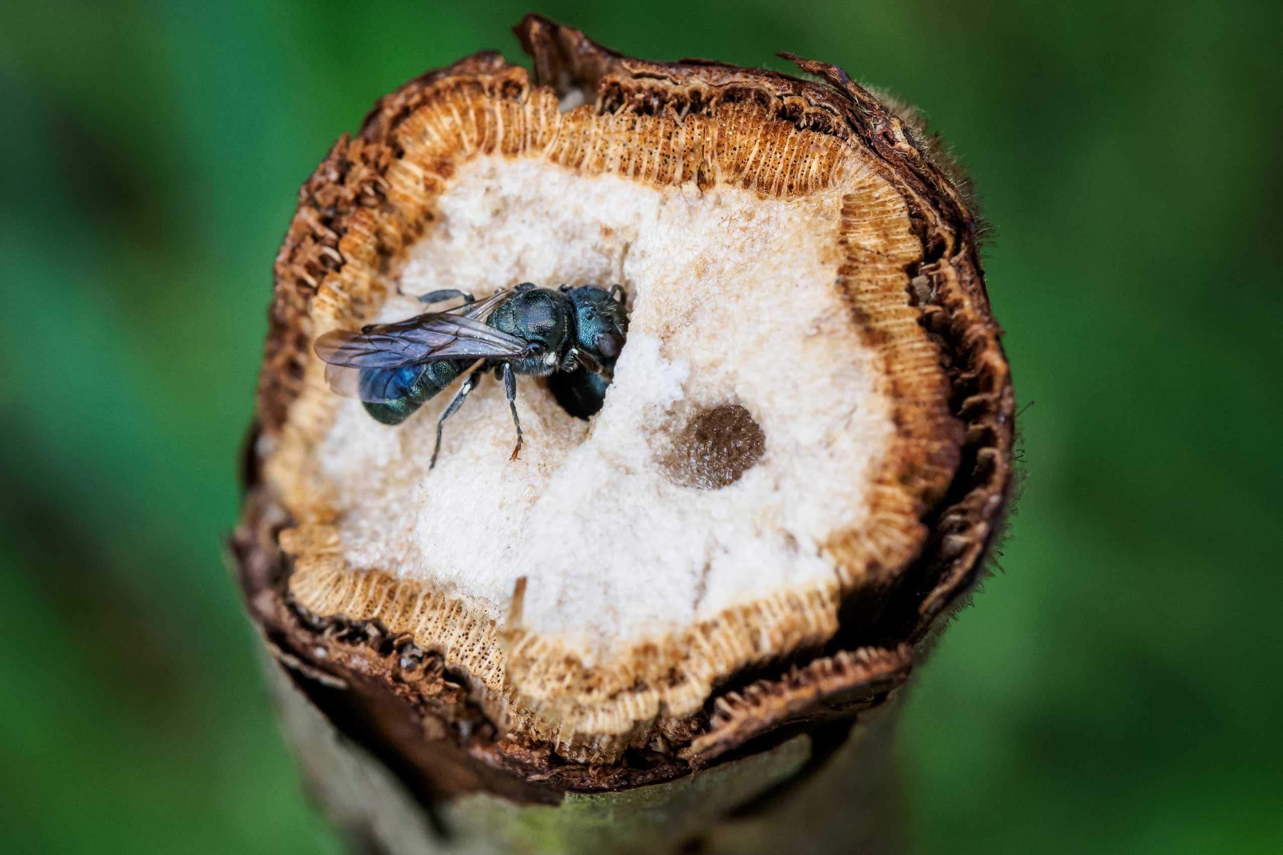 Wildbienen nisten in Brombeerranken
