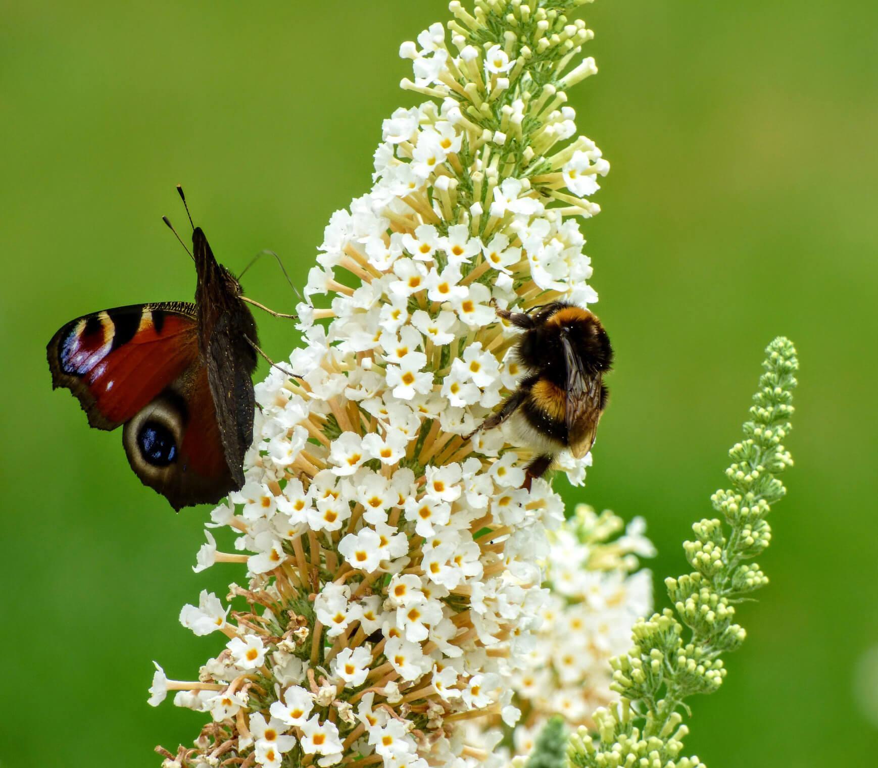 Schmetterling und Biene auf Blume