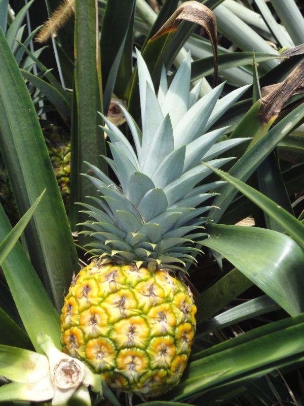 ananas anbau ananas anbau stockfotos und lizenzfreie bilder auf ananas anbau pflege und tipps. Black Bedroom Furniture Sets. Home Design Ideas